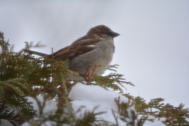 Sparrow St. Catharines, Ontario Canada