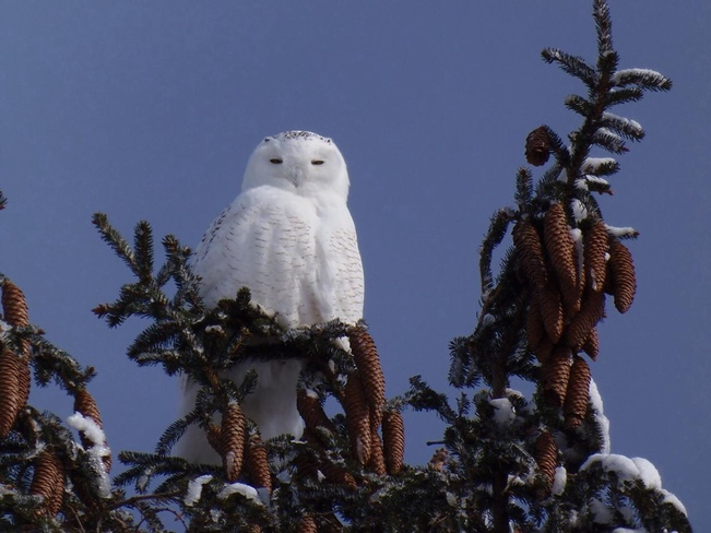 male snowy owl Mitchell, Ontario Canada