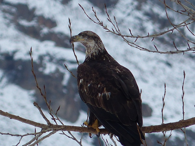 Young eagle Grand Forks, British Columbia Canada