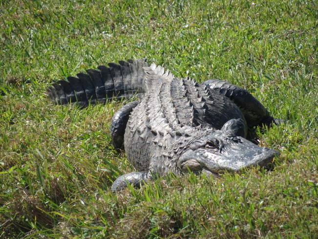 Alligator on the lawn North Port, Florida United States