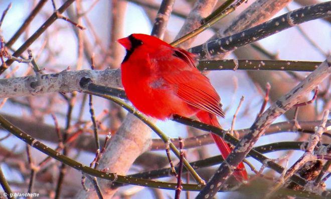 Cardinal at rest. Paris, Ontario Canada