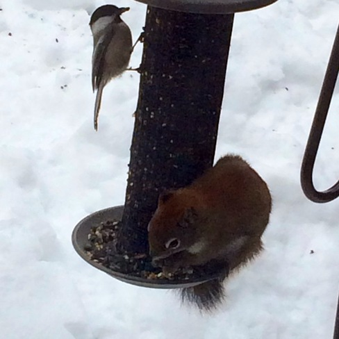 Squirrel and Chickadee Goderich, Ontario Canada