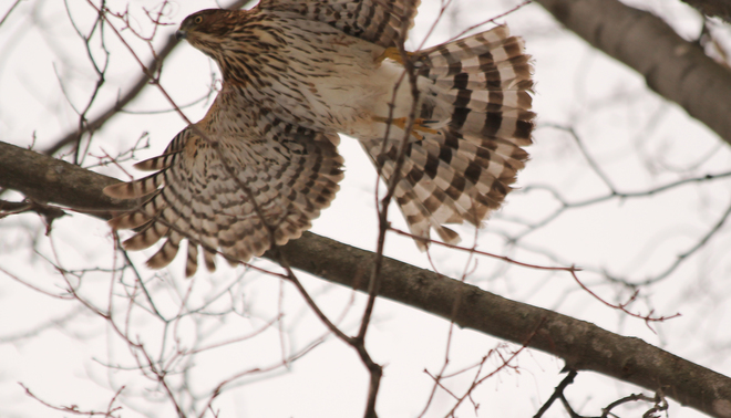Cooper Hawk takes off! Kingston, Ontario Canada