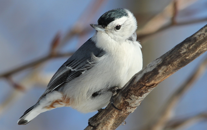 White -breasted Nuthatch Fergus, Ontario Canada
