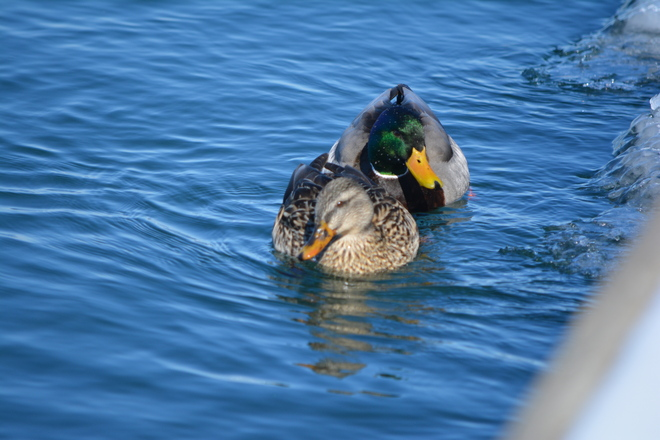 Lovely couple of Mallards! St. Catharines, Ontario Canada