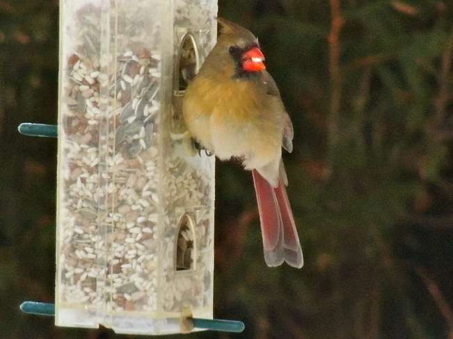 Mrs Cardinal in for Breakfast Port Perry, Ontario Canada
