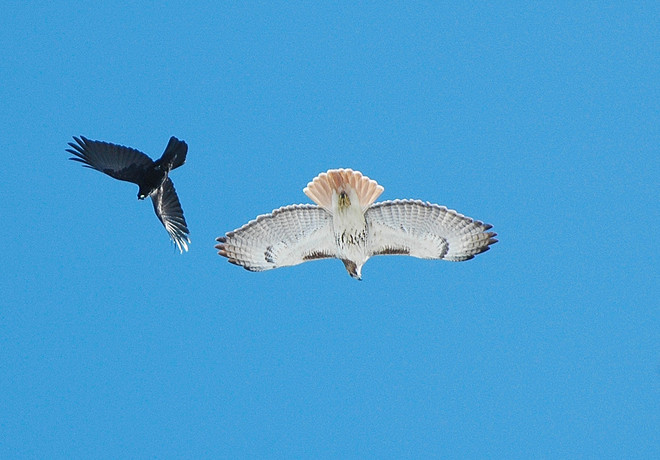 red tail hawk and raven Finch, Ontario Canada