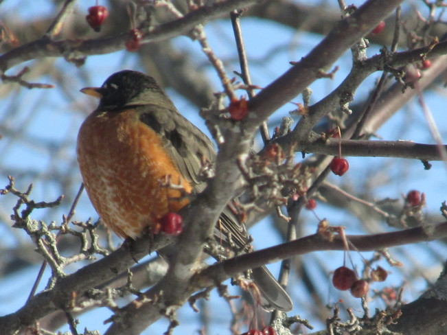 Beautiful Robin Moncton, New Brunswick Canada