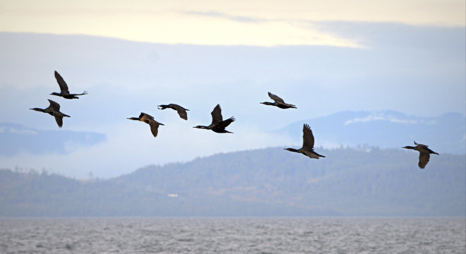 Double-crested Cormornts. Point Roberts, Washington United States