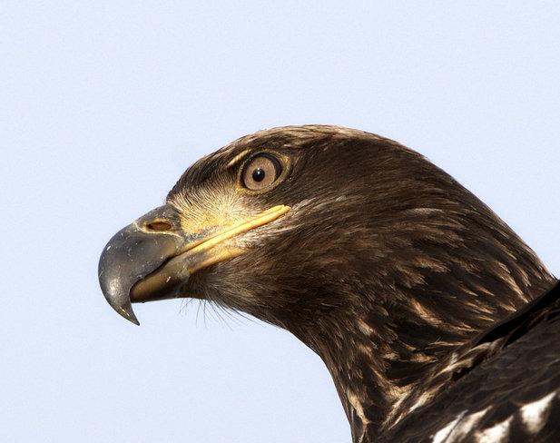 Juvenile Bald Eagle Point Roberts, Washington United States