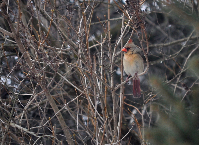 Female Cardinal in a tree