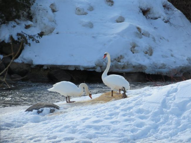 Swans On Snow Collingwood, Ontario Canada