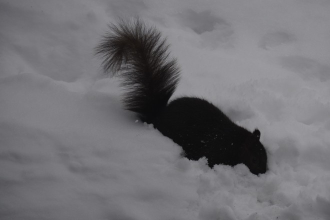 Black Squirrel digging in snow for nuts! St. Catharines, Ontario Canada
