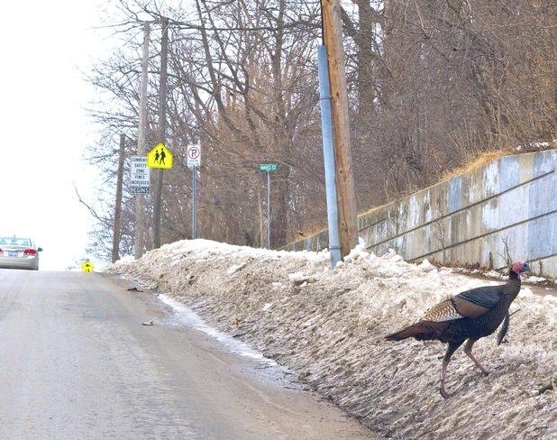The wild Turkey crossing the road. Port Hope, Ontario Canada