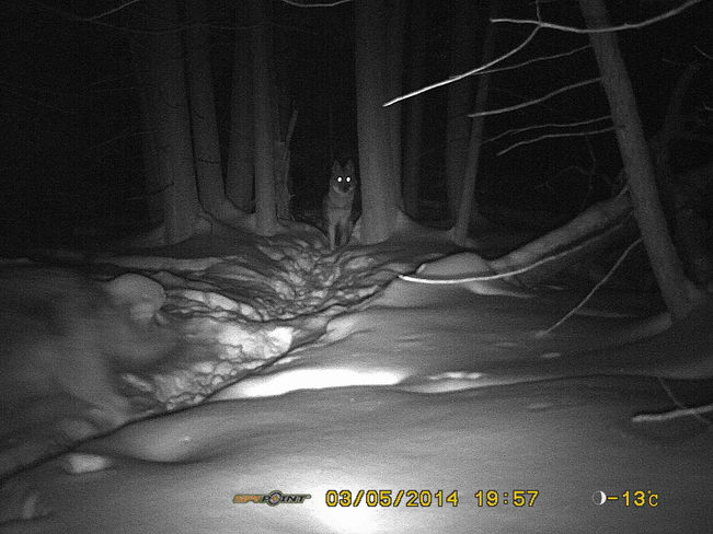 Coyotes patrolling Sandy Point, Ontario Canada