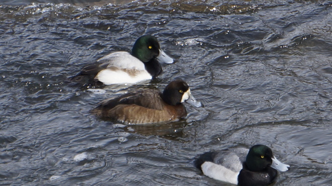 Greater or Lesser Scaup? London, Ontario Canada