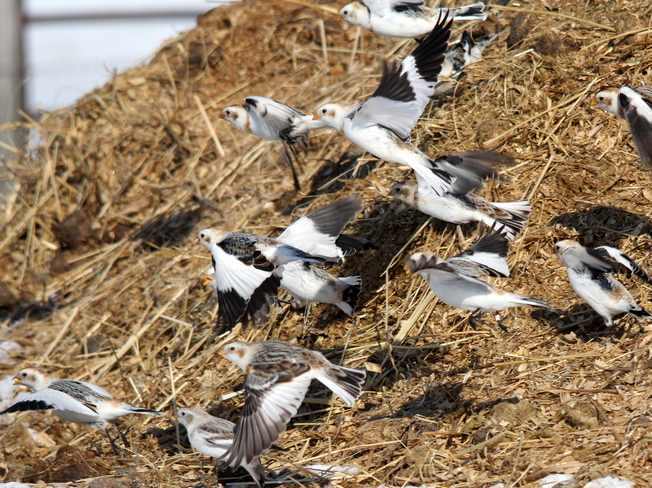 Snow Buntings In Flight Fergus, Ontario Canada
