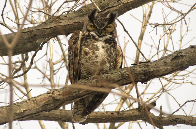 Great Horned Owl Tilbury, Ontario Canada