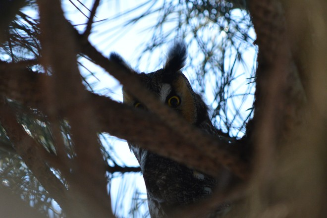 Long Eared Owl! St. Catharines, Ontario Canada