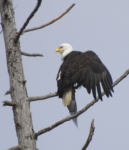 Bald head eagle drying wings Parksville, British Columbia Canada