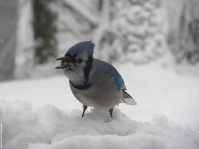 The Blue Jay and peanut Saint-Lazare, Quebec Canada