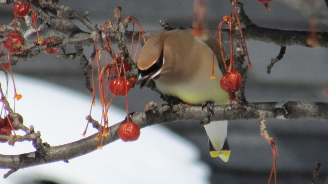 The Cedar Waxwing and the fruit Hudson, Quebec Canada