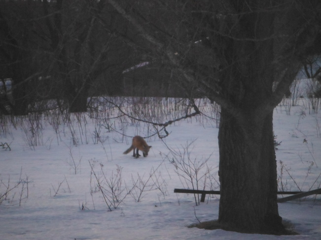 Fox from my window! Florenceville-Bristol, New Brunswick Canada