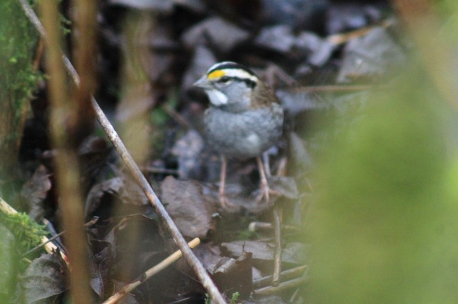 white-throated sparrow Chilliwack, British Columbia Canada