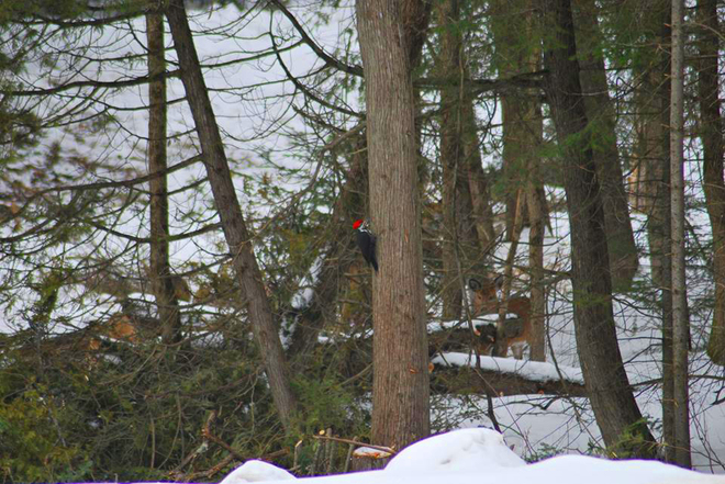 Pileated Woodpecker and a Deer Bancroft, Ontario Canada