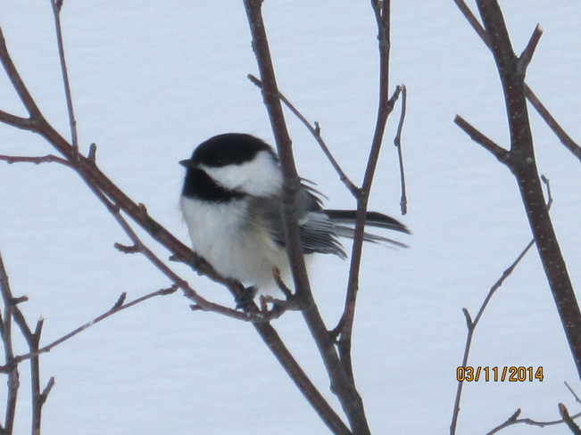 Chickadee in a tree Armstrong Station, Ontario Canada
