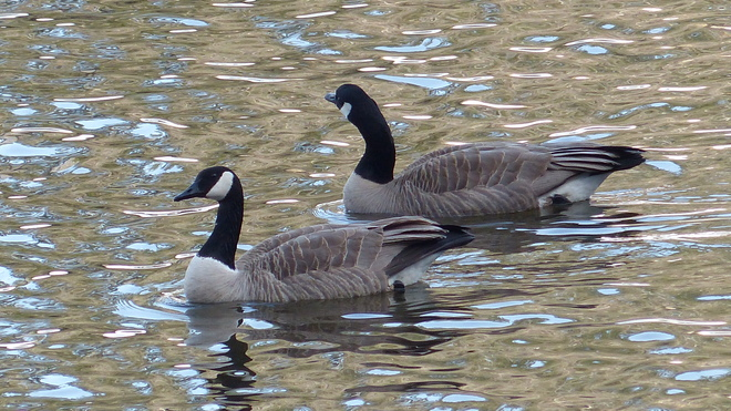 Canadian geese Grand Forks, British Columbia Canada