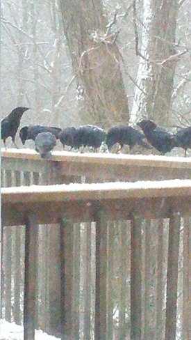 crows at breakfast Claremont, Ontario Canada