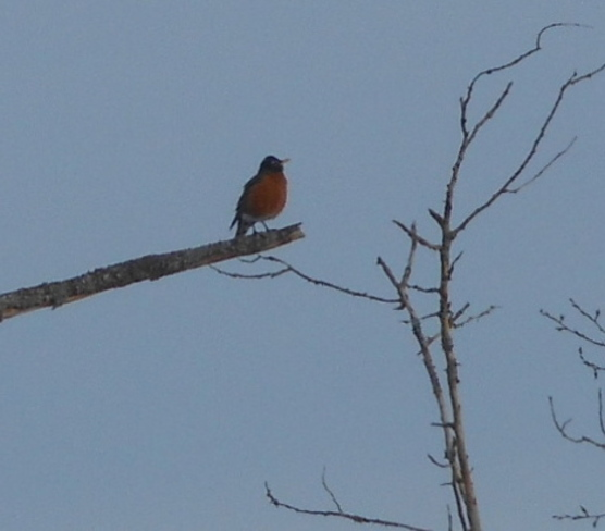 Robin sighting in Warsaw Warsaw, Ontario Canada