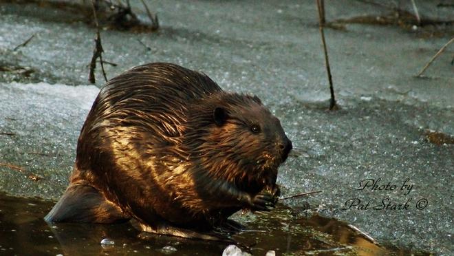 Beaver North Augusta, Ontario Canada