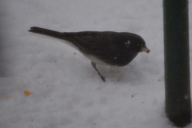 Dark Eyed Junco! St. Catharines, Ontario Canada