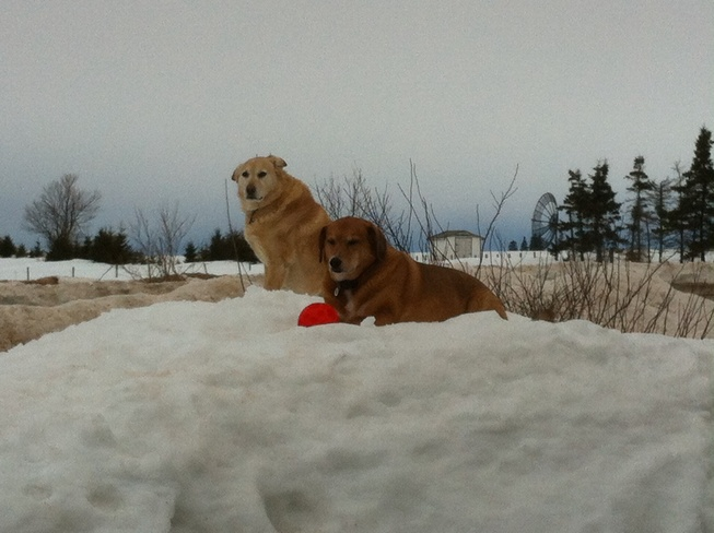 My dogs enjoying the snow Miscouche, Prince Edward Island Canada