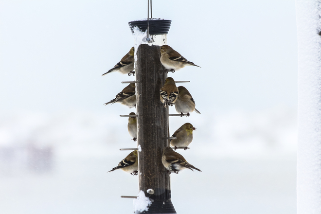 Gold Finches Wheatley, Ontario Canada