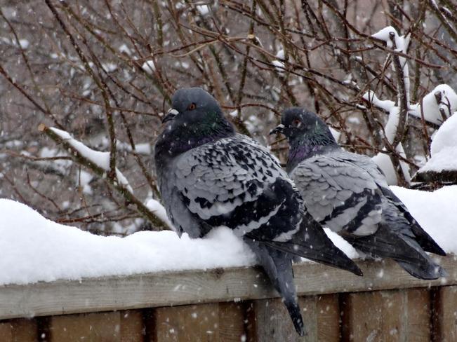 Fluffy Pigeons Richmond Hill, Ontario Canada