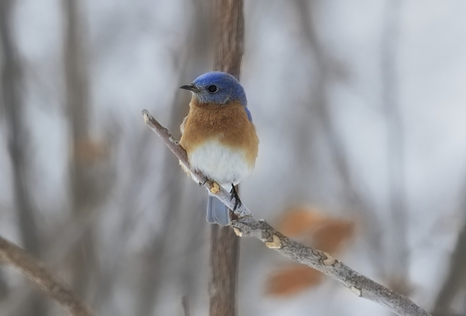 Blue Bird Brantford, Ontario Canada