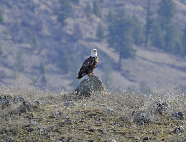 picture perfect bald eagle Greenwood, British Columbia Canada