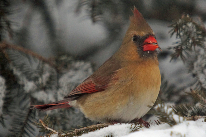 Lady Cardinal Cambridge, Ontario Canada