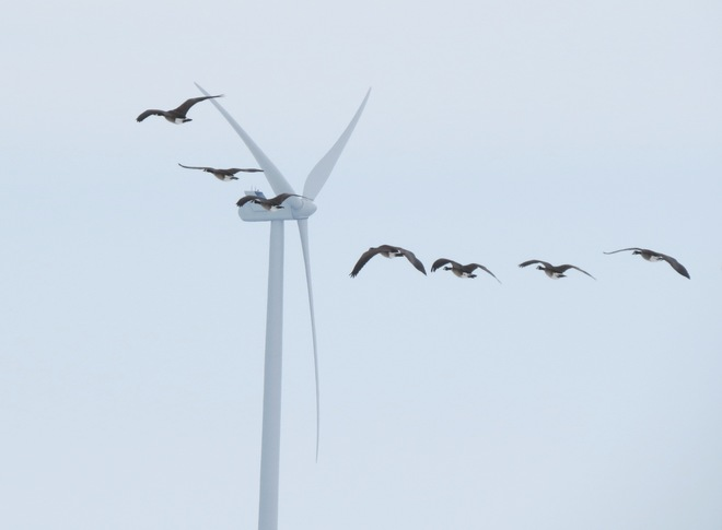 Windmills and Canada Geese Flight Nanticoke, Ontario Canada