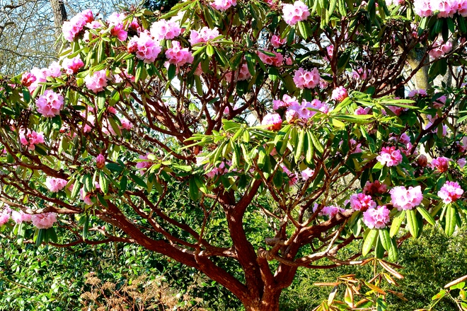 Pink Rhododendron in full bloom Victoria, British Columbia Canada