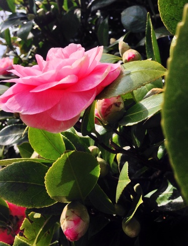 CamelliaFlofer welcoming Spring Vancouver, British Columbia Canada