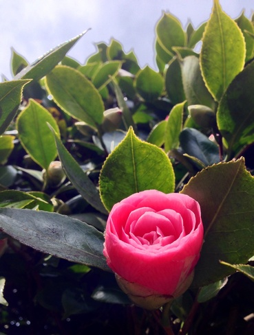 Camellia flower in Spring bloom Vancouver, British Columbia Canada