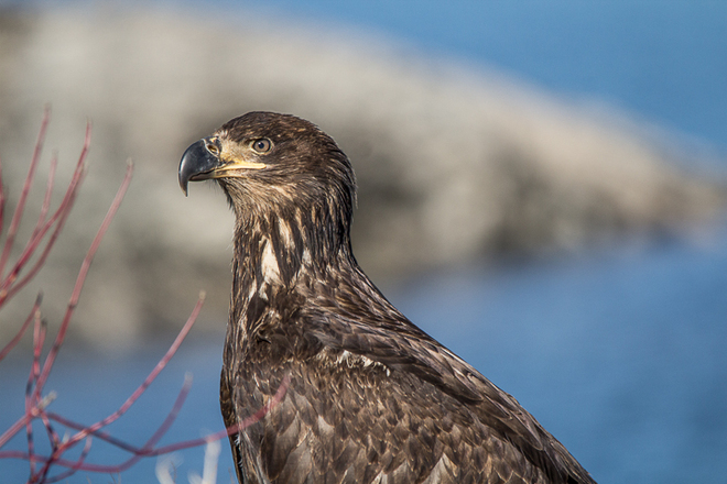 Young Bald Eagle Prince Rupert, British Columbia Canada