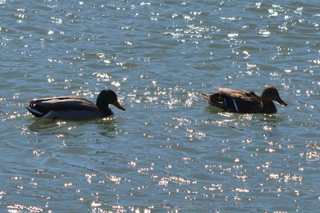 Male and Female Mallards! St. Catharines, Ontario Canada