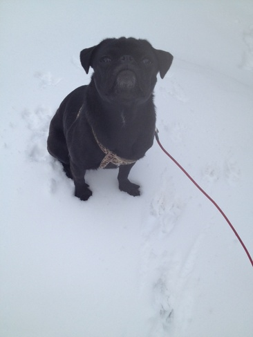 pug enjoying the snow Ottawa, Ontario Canada