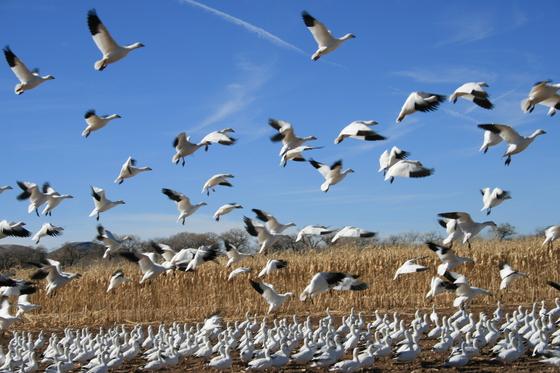 Bosque Farms Snow Cranes