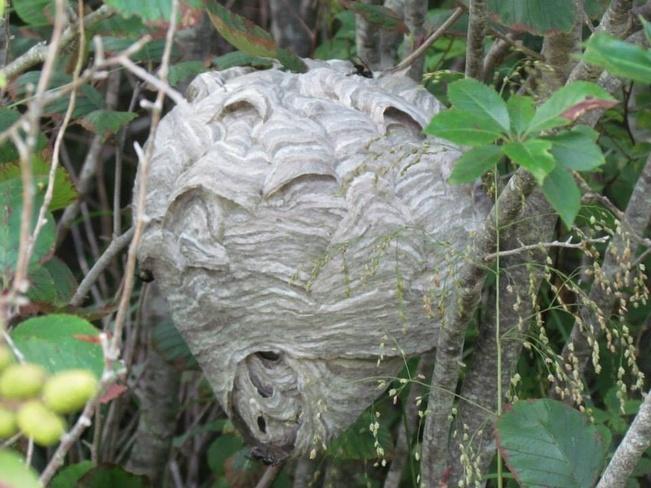 huge hornets nest Wedgeport, Nova Scotia Canada